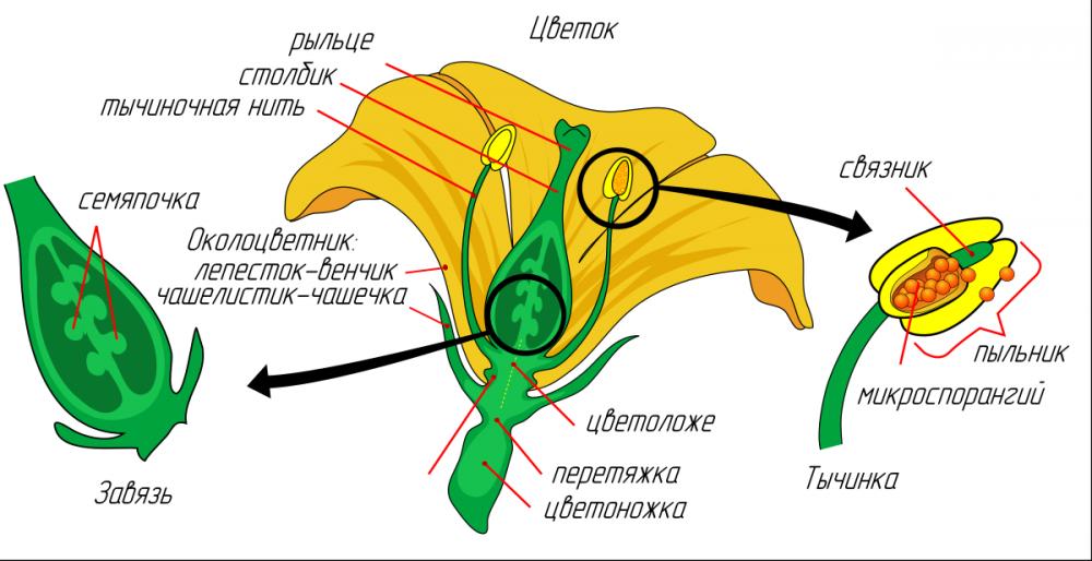 Биология (6 класс)/Цветок и плод — Викиверситет