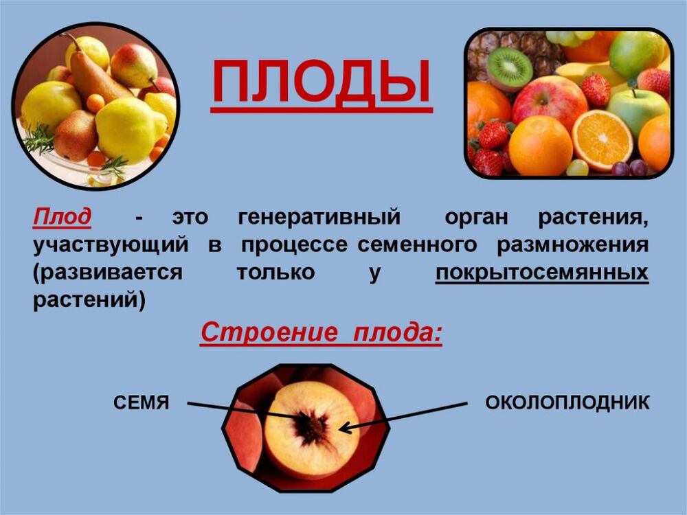 Плоды. Строение плода - презентация онлайн