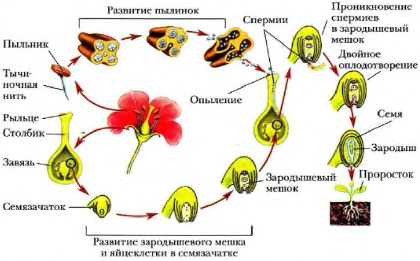 Размножение и оплодотворение у растений | Биология