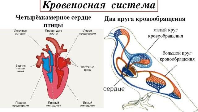 Презентация по биологии на тему Внутреннее строение птиц (7 класс)