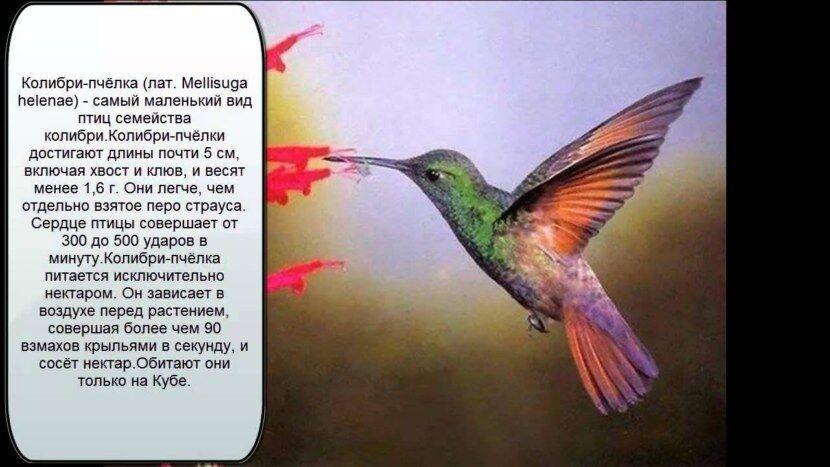 Колибри - 96 фото единственной птицы умеющей летать назад