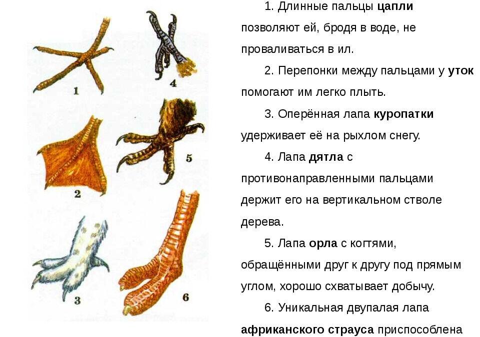 ПРезентация на тему Опорно-двигательная система птиц