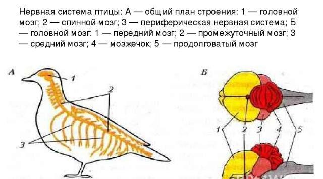 Презентация на тему Особенности внутреннего строения птиц ...