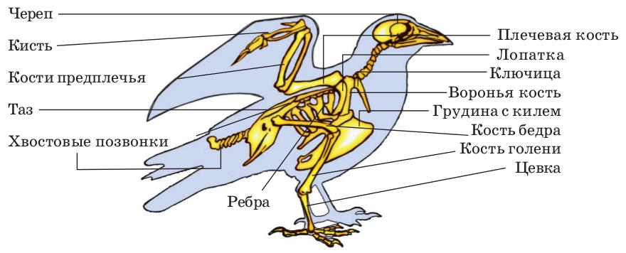 Особенности внутреннего строения и жизнедеятельности птиц | Биология