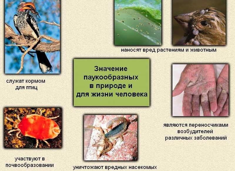 Носовец Юлия - Тип Членистоногие Класс Паукообразные