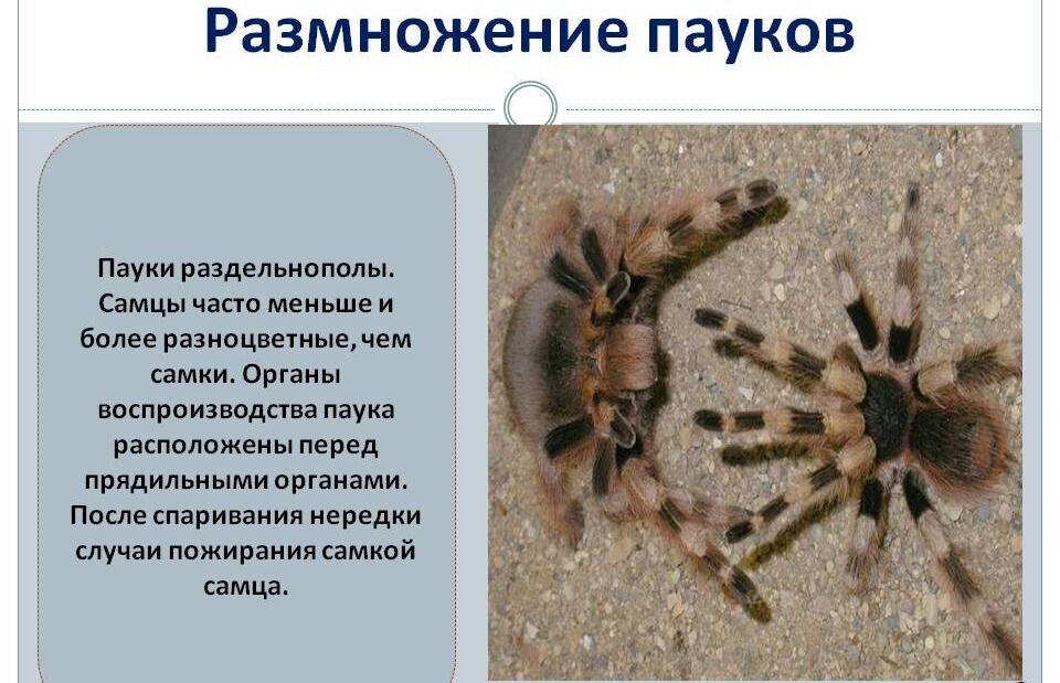 Размножение пауков - Презентация 76977-19