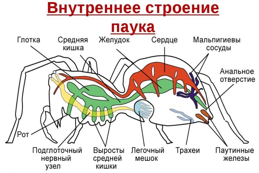 Конспект Класс Паукообразные - УчительPRO