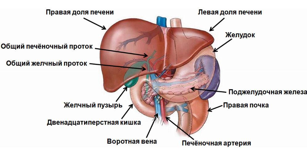 Анатомия Печени человека – информация:, строение печени человека ...