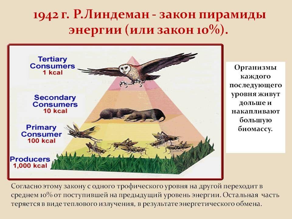 1942 г. Р.Линдеман - закон пирамиды энергии (или закон 10 ...