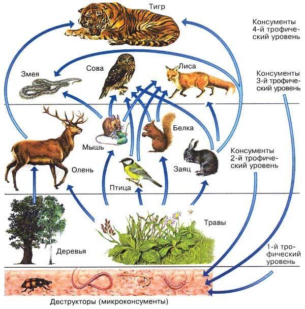 Как составить схему цепи питания, характерной для тайги?