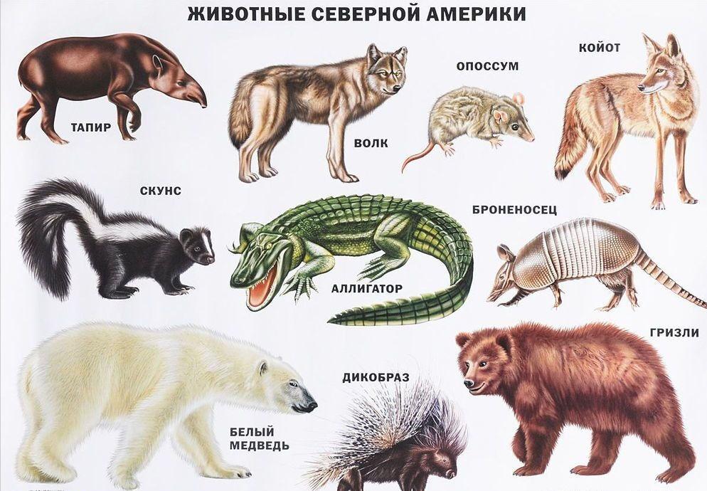 Животные Северной Америки. Плакат» Проф-Пресс купить в Минске — OZ.by