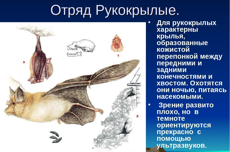 Презентация для открытого урока тема: Класс Млекопитающие или Звери ...
