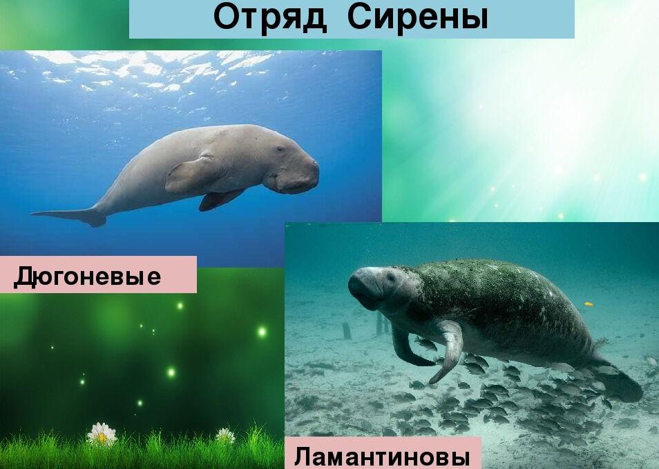 Презентация по биологии на тему: Многообразие млекопитающих (7 класс)