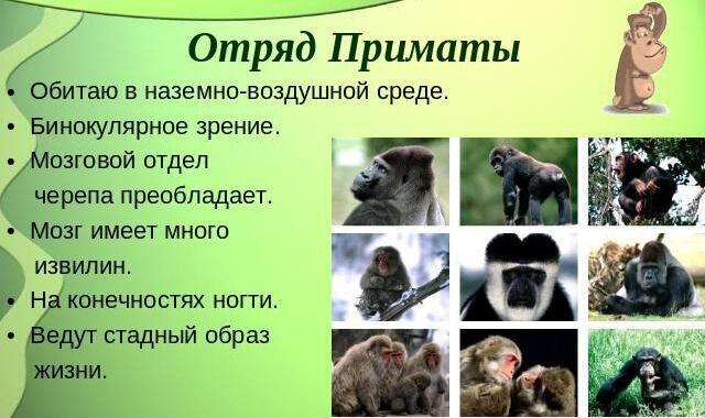 Отряд приматы 8937567 - x-show.info