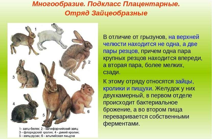 Презентация Отряды Насекомоядные Рукокрылые Грызуны. - скачать ...