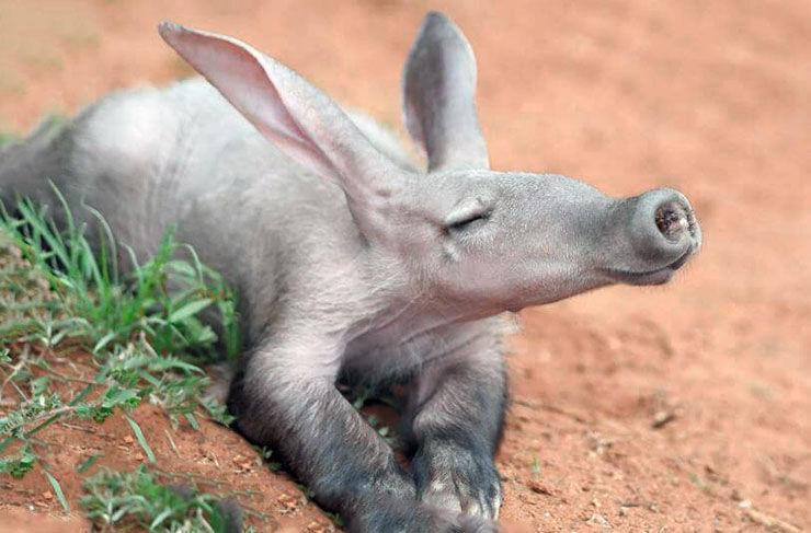 Трубкозуб капский | Мир животных и растений