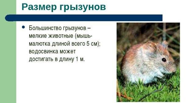 Презентация по биологии «Тип Млекопитающие отряд Грызуны»