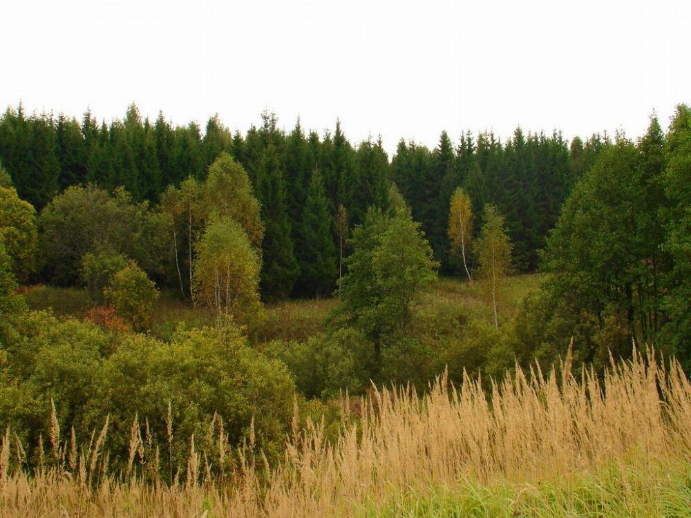 Густые смешанные леса выходят на просеку, поросшую злаками, обои для ...