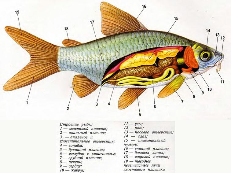 Строение рыбы» - картинка из статьи: «Аквариумные рыбы, их ...