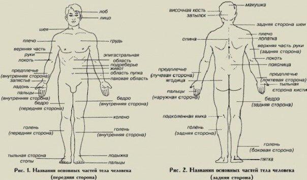 сколько отделов тела (главный ключ)