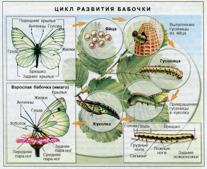 Развитие насекомых | Биология