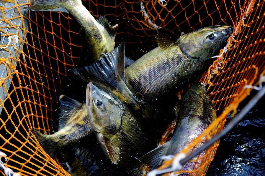 Госдума приняла поправки в закон «О рыболовстве и сохранении водных ...