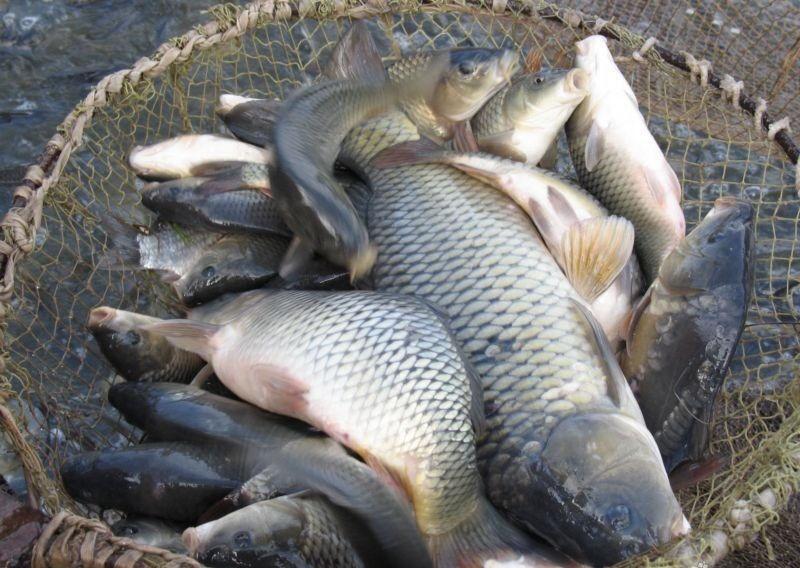 Живая рыба оптом. Толстолобик. Амур. Карась. | Крестьянские ведомости
