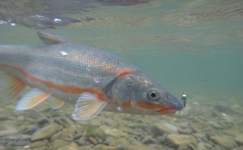 Ловля Сахалинской красноперки: какие снасти выбрать для ловли рыбы