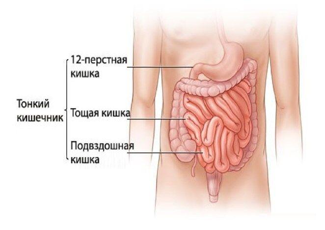 Тонкий кишечник