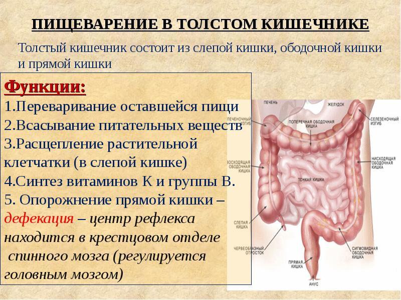 отделы пищеварительного тракта