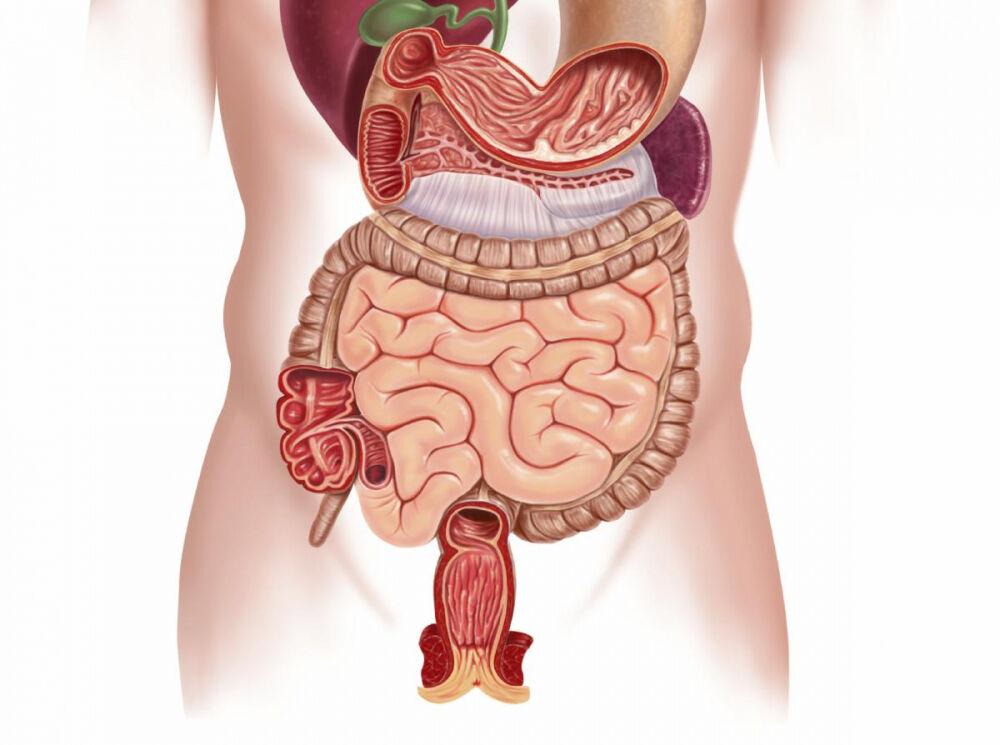 кишечник человека схема расположения