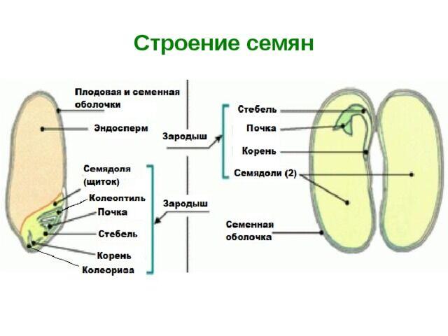 Презентация на тему СТРОЕНИЕ СЕМЯН ПОКРЫТОСЕМЕННЫХ РАСТЕНИЙ