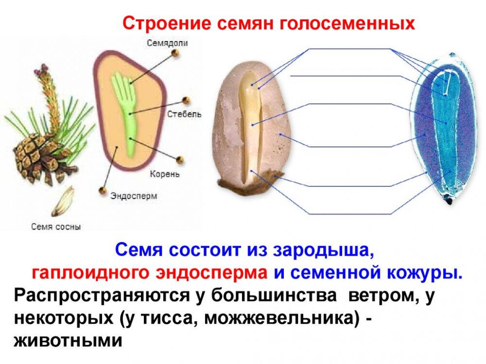 Отдел голосеменные растения. Тисс ягодный. Кипарис - презентация онлайн