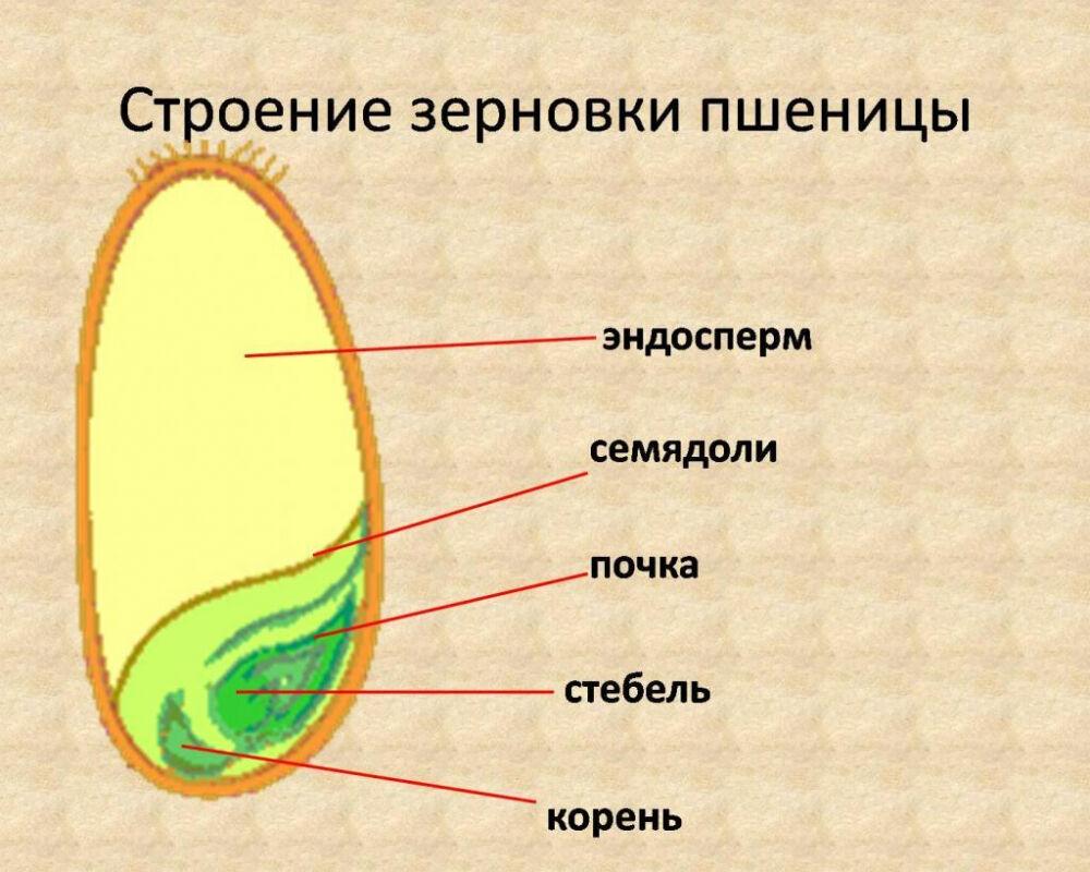 Зерно: строение, структура и химический состав | OneKu