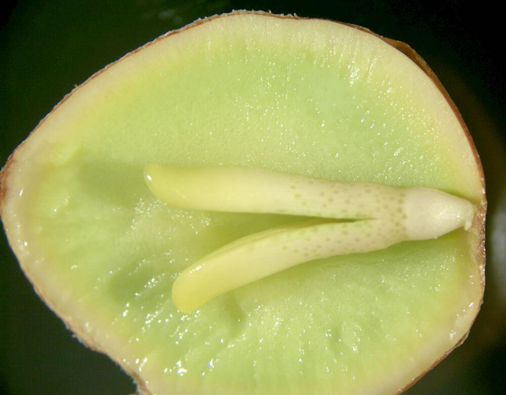 Зародыш (ботаника) — Википедия