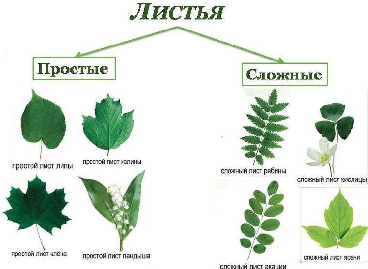 Лист растения. Строение, виды листовых пластин, типы расположения