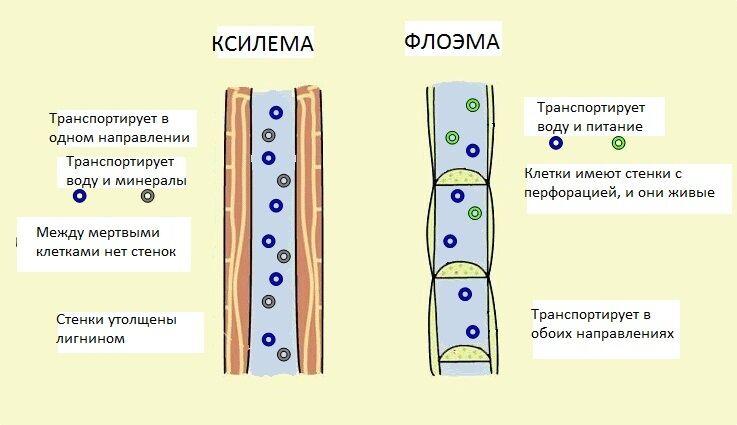Проводящие ткани растений | ВКонтакте
