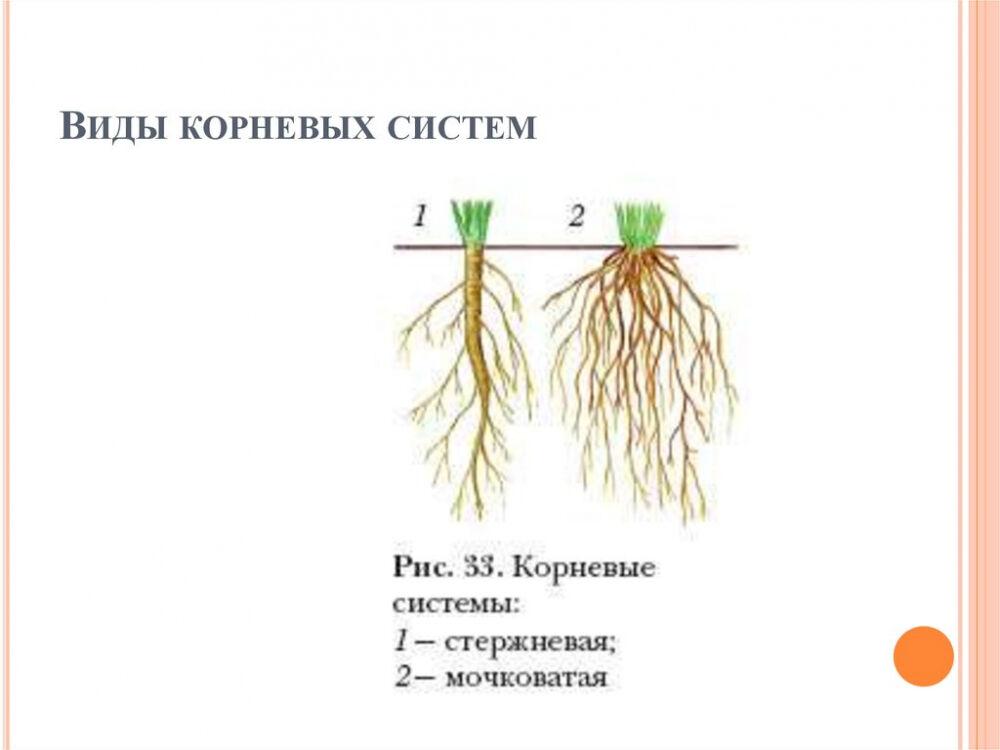 Корень. Корневые системы - online presentation