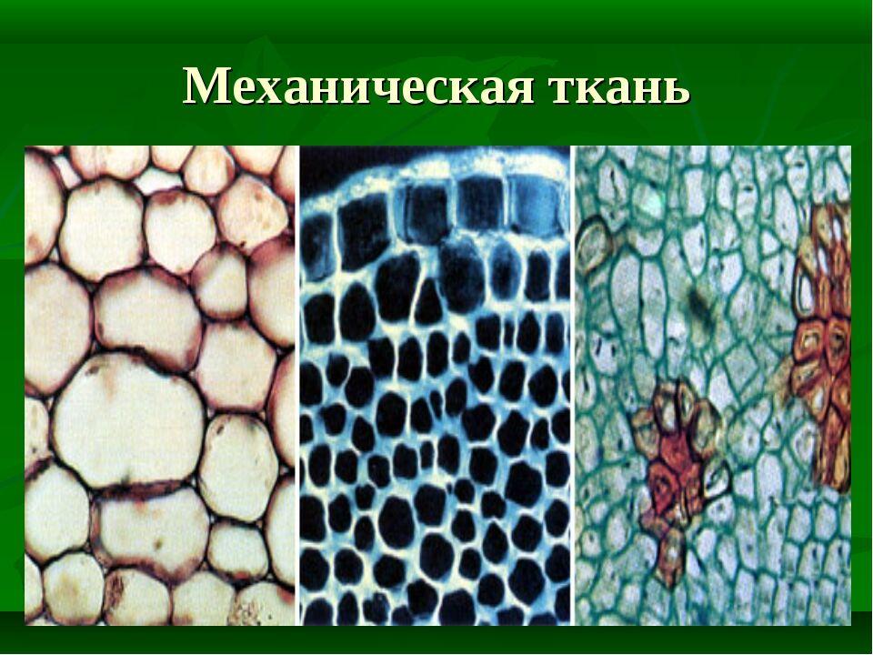 Урок биологии Ткани растений