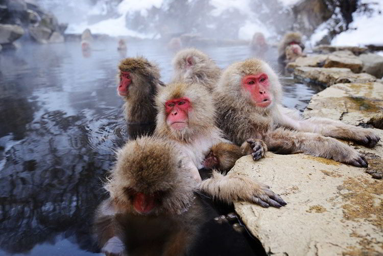 Джигокудани - парк снежных обезьян. Япония