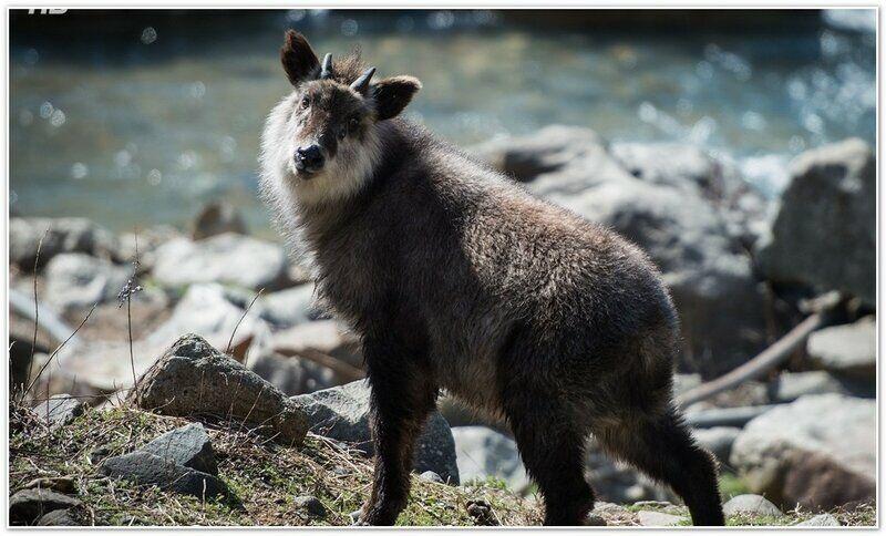 Японский сероу: волк в овечьей шкуре. Обсуждение на LiveInternet ...