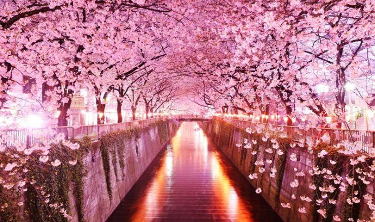В Японию на Цветение Сакуры 2019 | Когда Цветет Сакура в Японии?