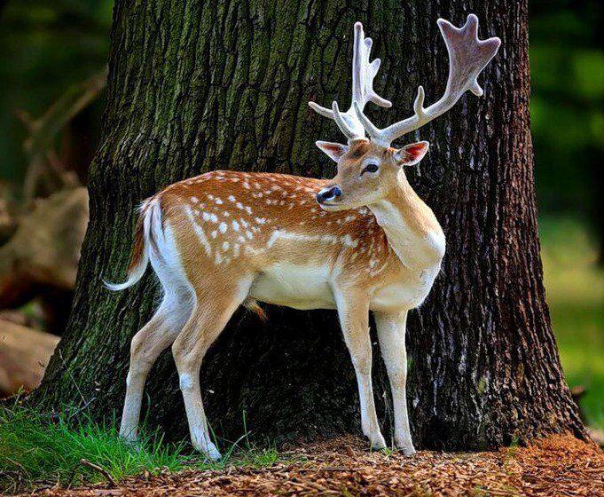 Купить Пятнистого оленя в Доме Животных — Украина