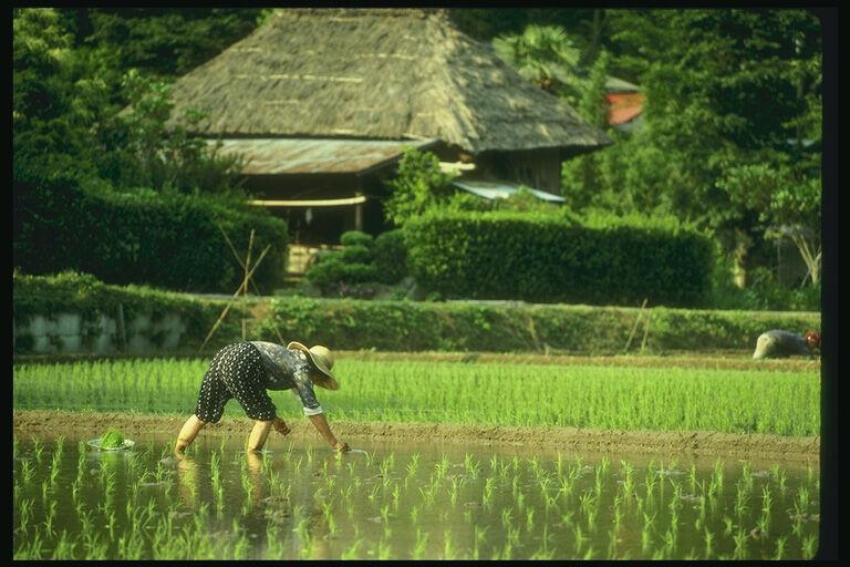 Японский рис проверят на радиоактивность