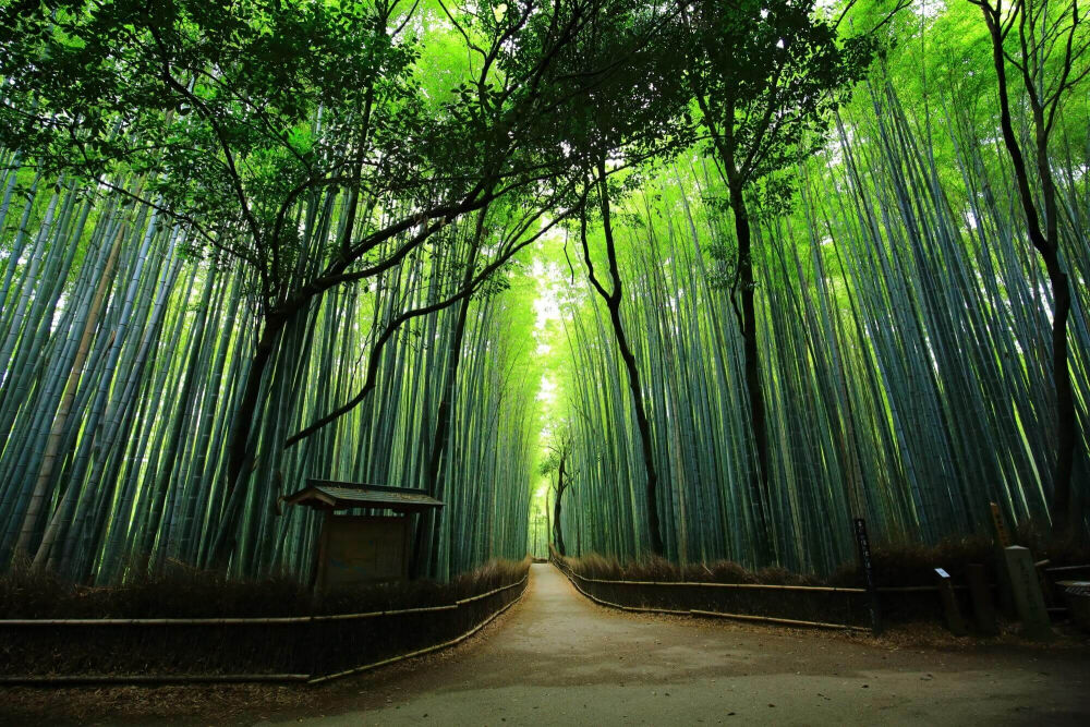 Экскурсия Бамбуковая роща Сагано и Арасияма English | Mirai Japan ...