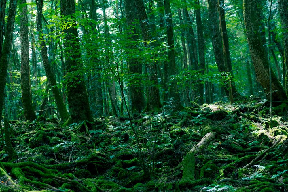 Аокигахара – лес самоубийц в Японии | nakonu.com