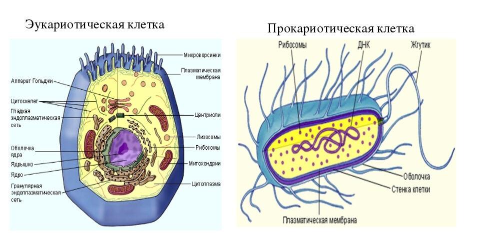 Презентация по биологии на тему Сравнение эукариотических и ...