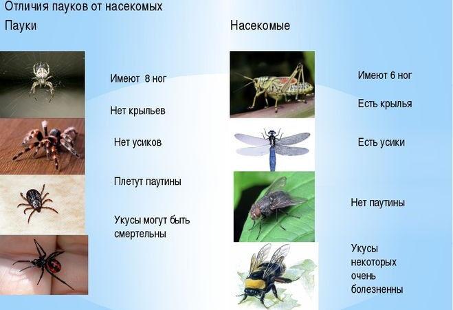 Чем пауки похожи на насекомых, а чем отличаются?