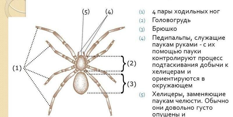 Презентация на тему: Тип Членистоногие Подтип Хелицеровые. Эволюция ...