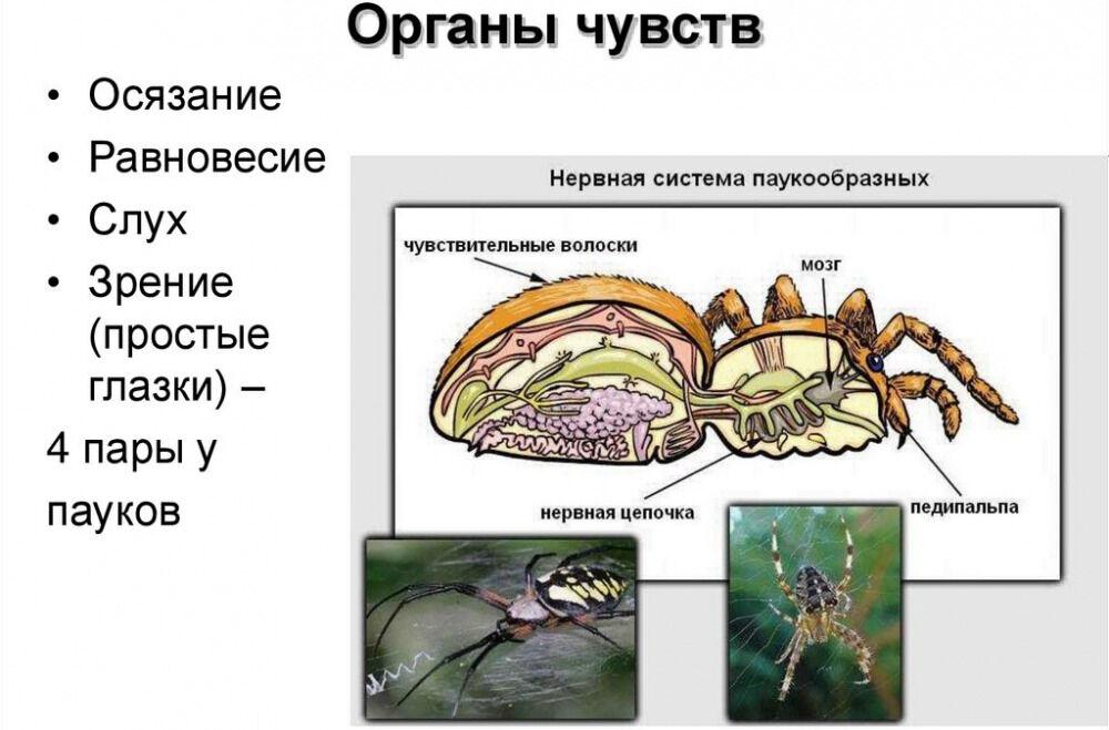 Тип членистоногие. Класс паукообразные - online presentation
